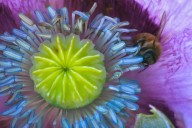 Vince Ferguson - Purple Poppy with Bee-1 - Digital Image